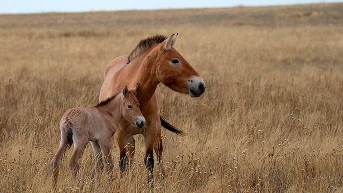Все о лошади Пржевальского: почему так называется конь, интересные факты, описание