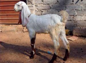 Зааненские, ангорские, бурские козы – какую породу коз выбрать для разведения?