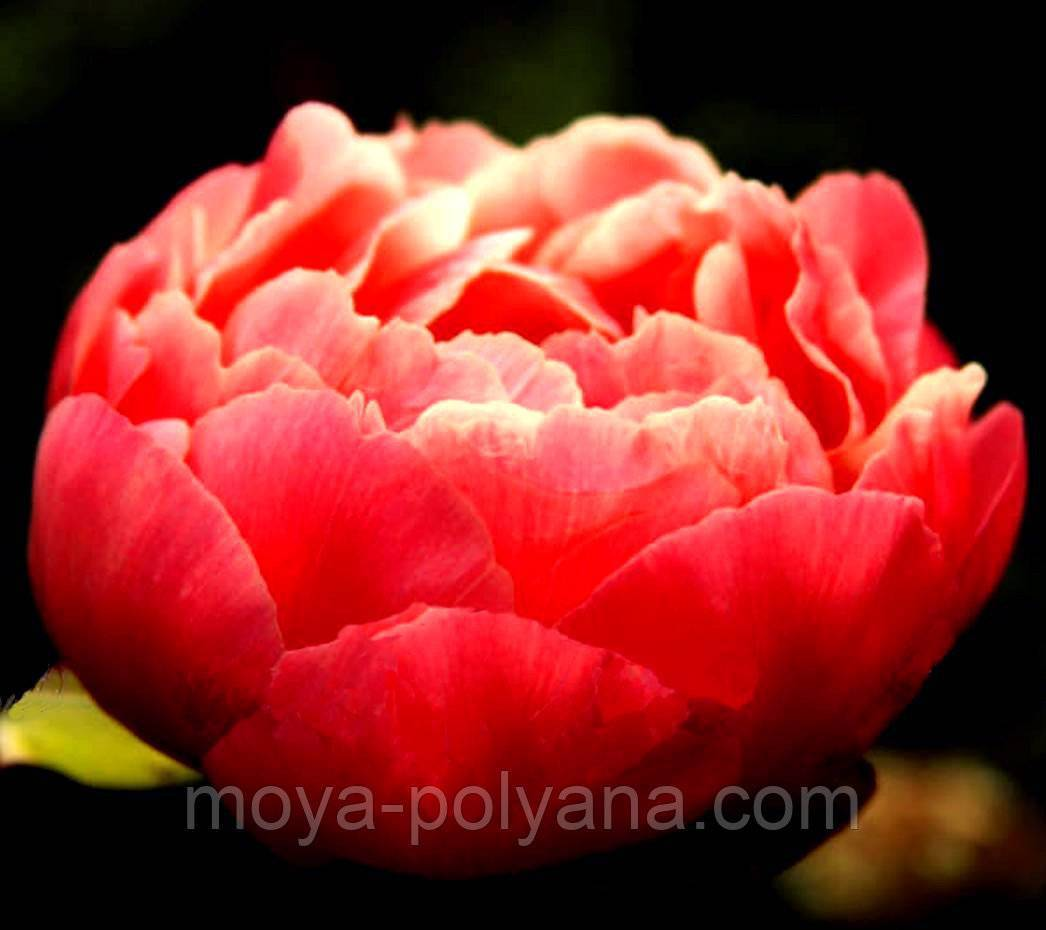 Пион корал шарм (paeonia coral charm) — особенности размножения сорта