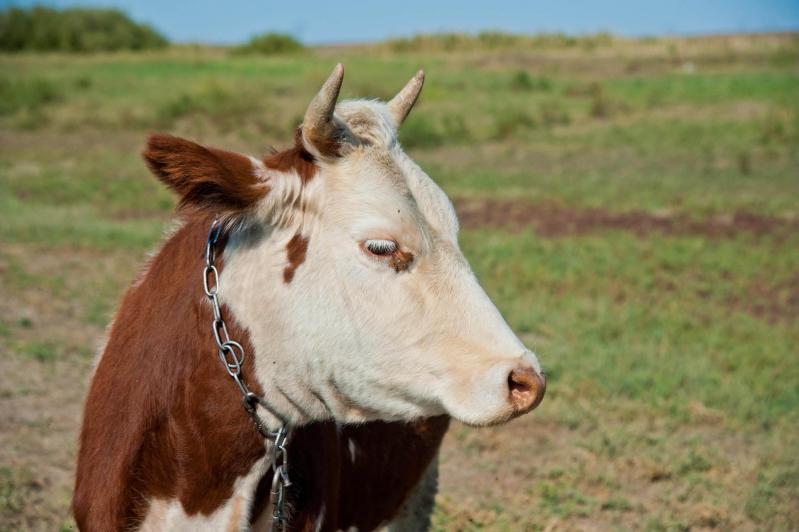 Можно ли доить корову перед отёлом