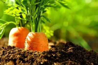 Как посадить морковь чтобы быстро взошла