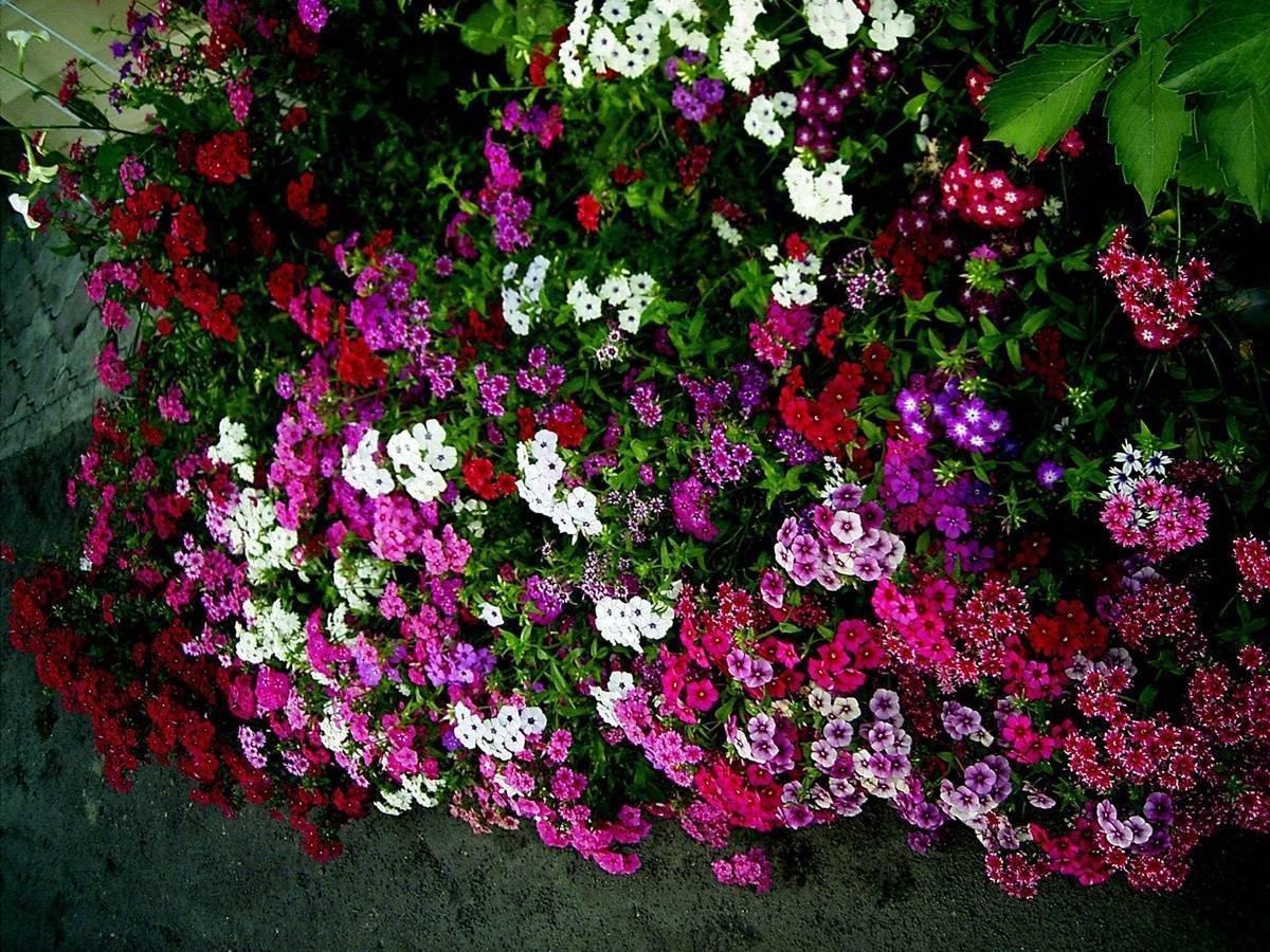 Чем подкормить флоксы в июне перед цветением