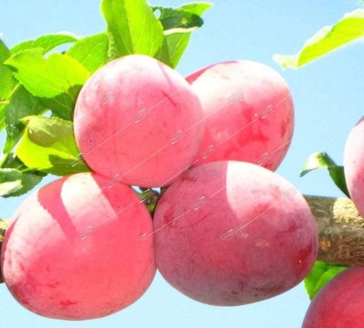 Слива персиковая: описание сорта, фото, отзывы