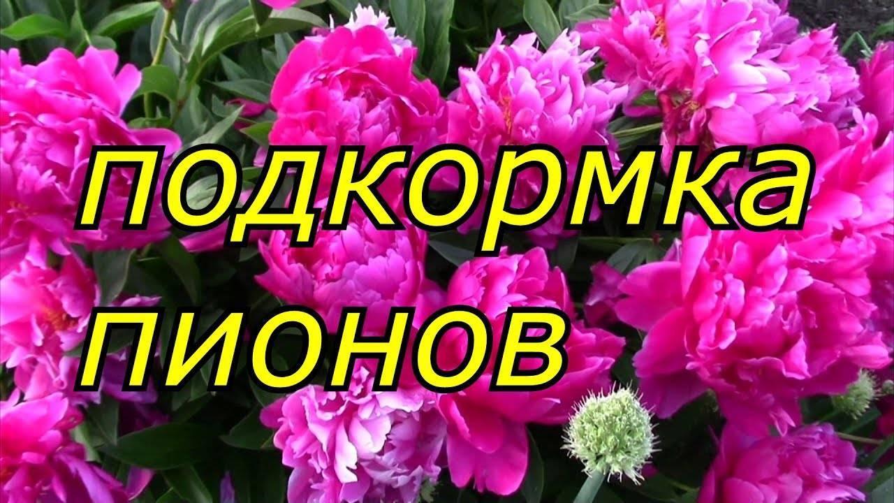 Когда и как правильно обрезать пионы после цветения — распишем главное