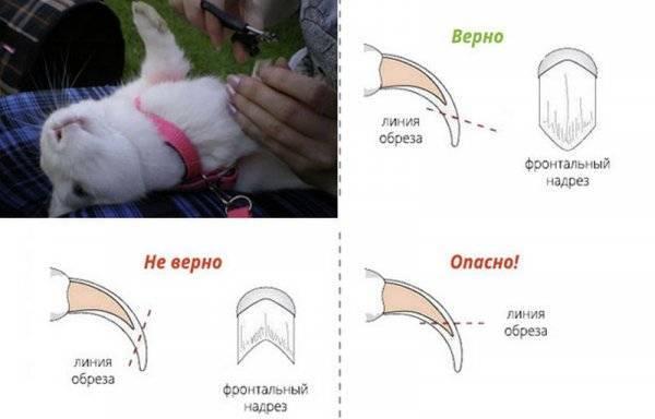 Как подстригать когти кролика: как правильно стричь ногти в домашних условиях
