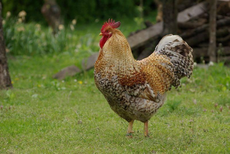 Билефельдер – описание породы кур