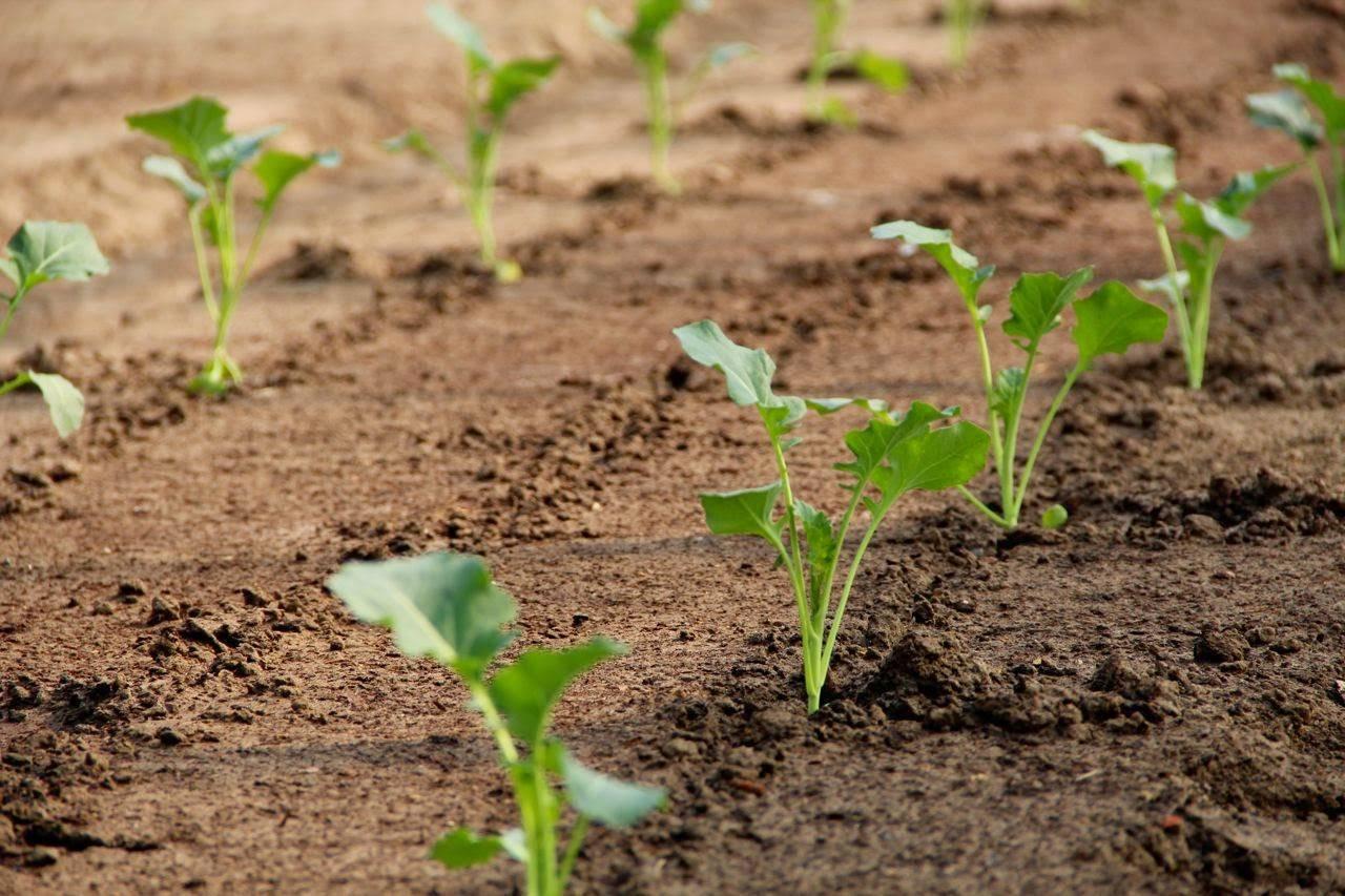 Все о выращивании цветной капусты: от посева семян до сбора урожая