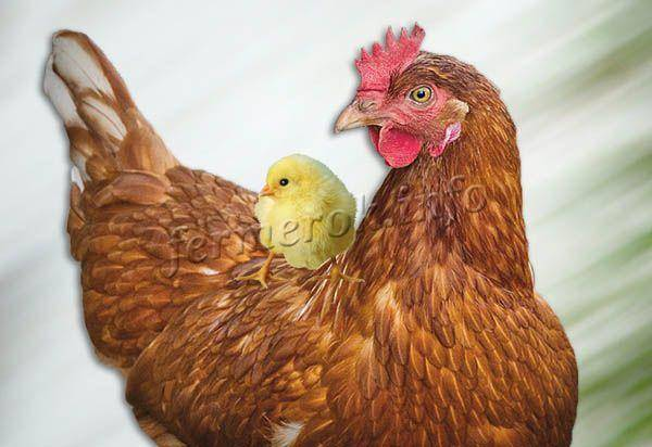 Разведение кур хайсек | животноводство