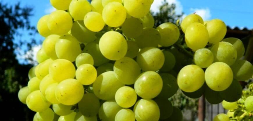 Обрезка винограда: когда и как правильно делать