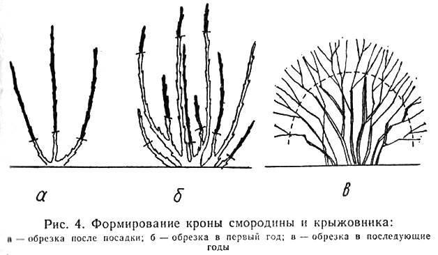 Как обрезать крыжовник весной для хорошего урожая летом