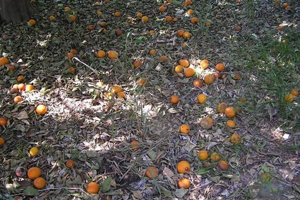 Осыпаются и гниют плоды абрикоса: что делать?