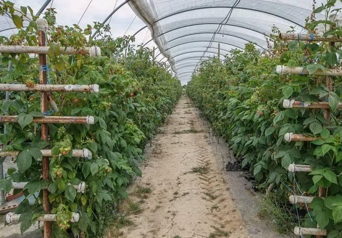 Как подвязывать малину осенью. особенности подвязки малины весной и осенью