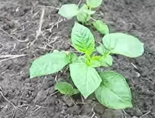 Как выращивать картофель из семян и когда их нужно собирать