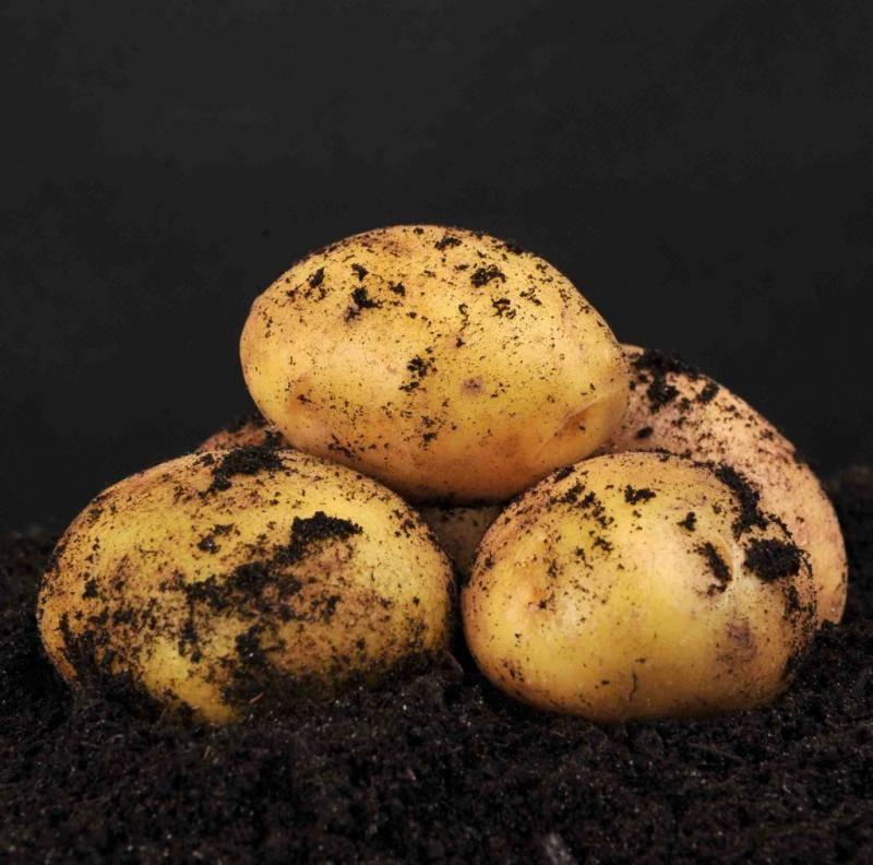 Скарб картофель