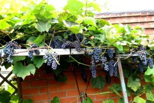 Сорт винограда альфа — надежный и проверенный временем