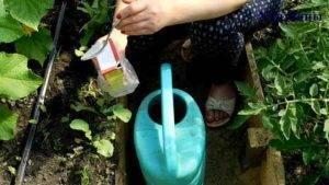 Как опрыскивать и огурцы содой: особенности подкормки
