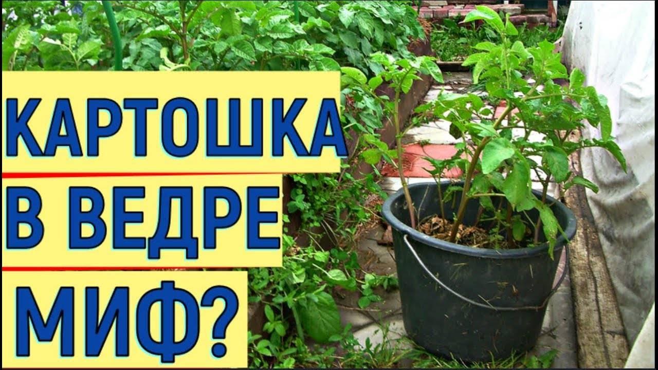Выращивание картофеля в бочке. картошка в бочке: процесс выращивания
