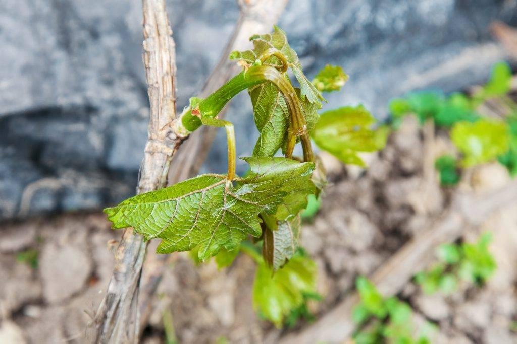 Как правильно ухаживать за виноградом в весенний период?