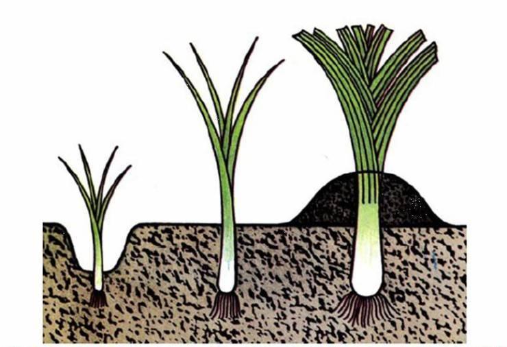 Как выращивать лук на зелень в домашних условиях?