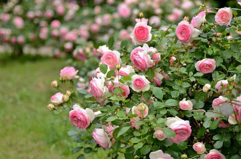 Что делать со старым кустом розы? правильная пересадка взрослого куста розы