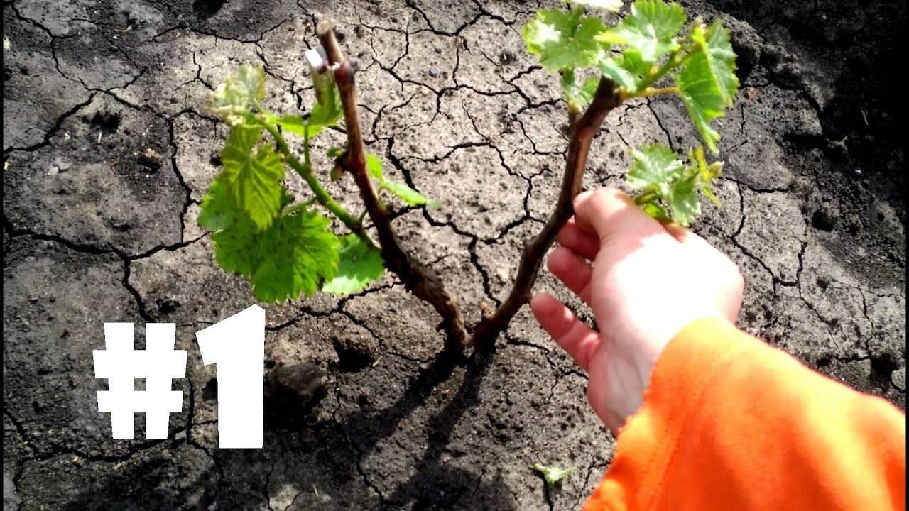 Формирование куста винограда в первые четыре года