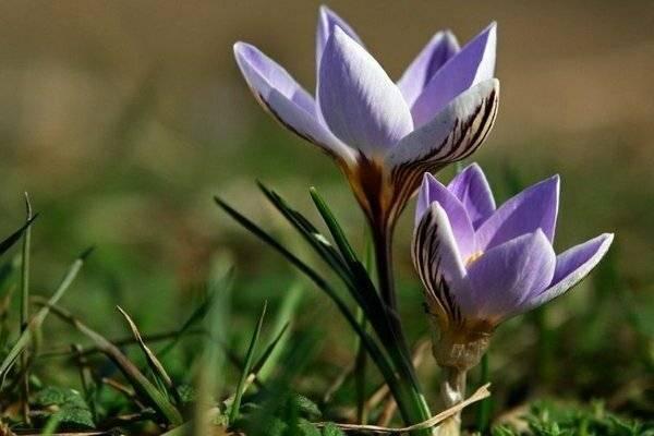 Луковичные в горшках: как сохранить после цветения - каталог статей на сайте - домстрой