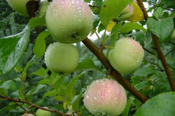 Карликовая яблоня братчуд: описание сорта и его основные характеристики, выращивание и уход, болезни и вредители