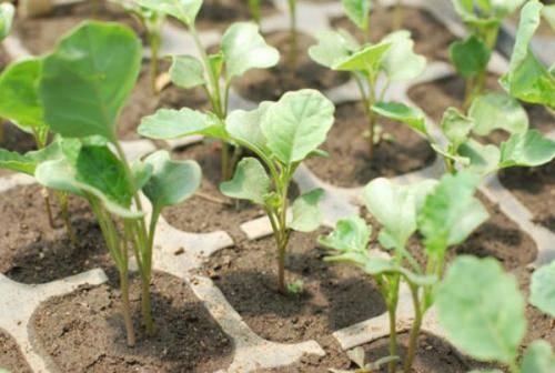 Какой должна быть рассада капусты для высадки в грунт