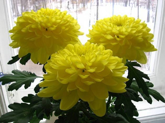 Хризантема кустовая балтика