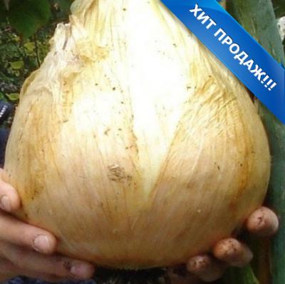 Правила выращивания лука эксибишен рассадой за один сезон. как и когда сажать семена?