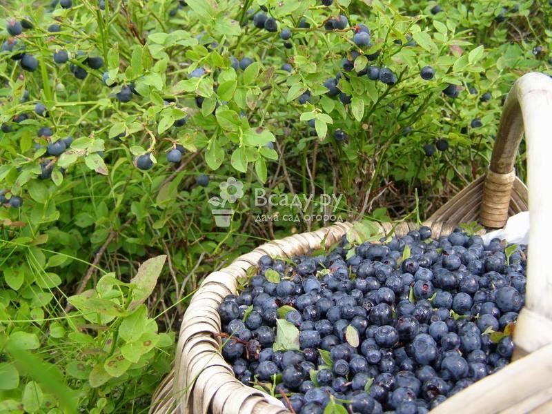 Посадка и выращивание черники садовой