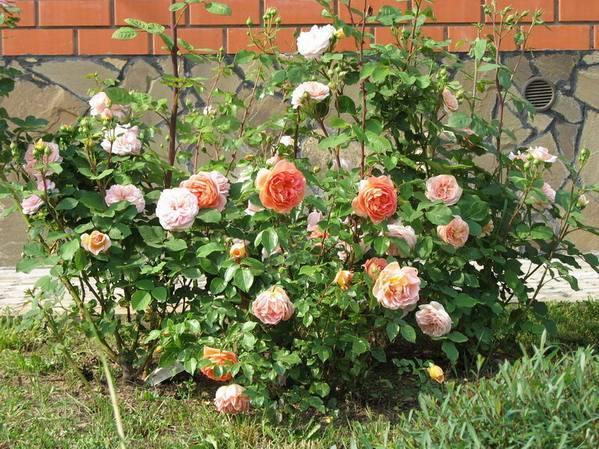 Роза ферст леди