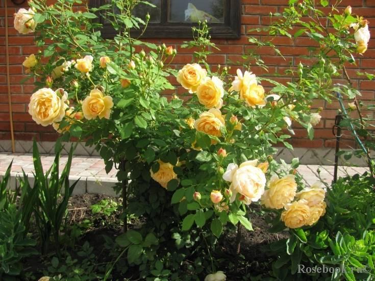 Роза голден селебрейшн