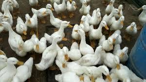 Гибоидные утки черри-велли
