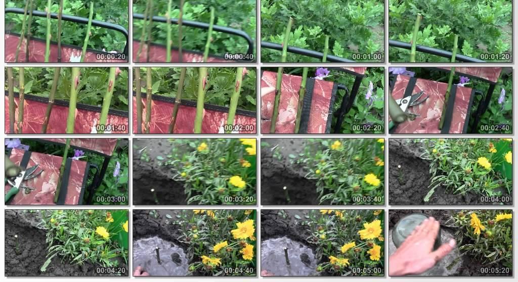 Как правильно черенковать розы – инструкция с фотографиями