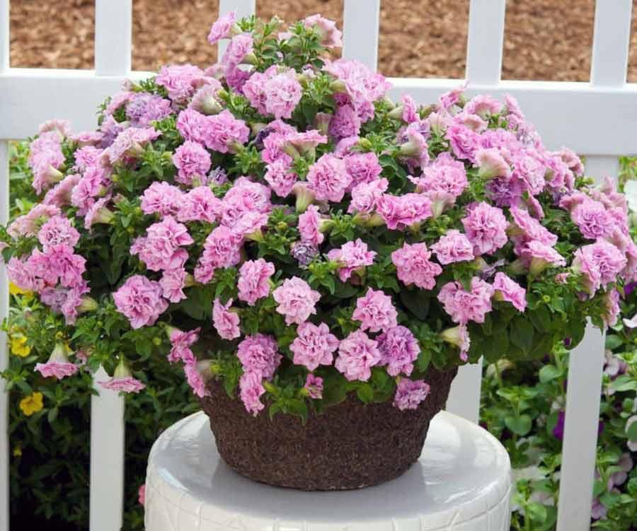 Фиолетовые цветы – комнатные и садовые растения