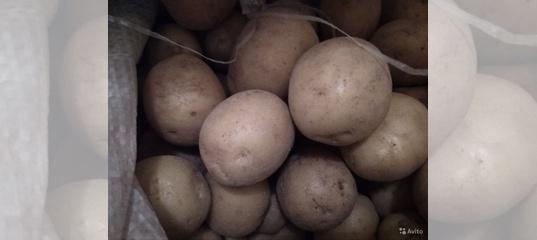 Картофель тирас: характеристика и особенности выращивания сорта