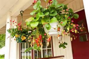 «ароза» — описание сорта клубники и его характеристики
