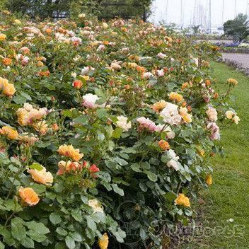О розе Текила (Tequila): описание и характеристики розы грандифлора