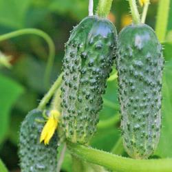 Характеристики и особенности выращивания огурцов дружная семейка f1 и веселая семейка f1