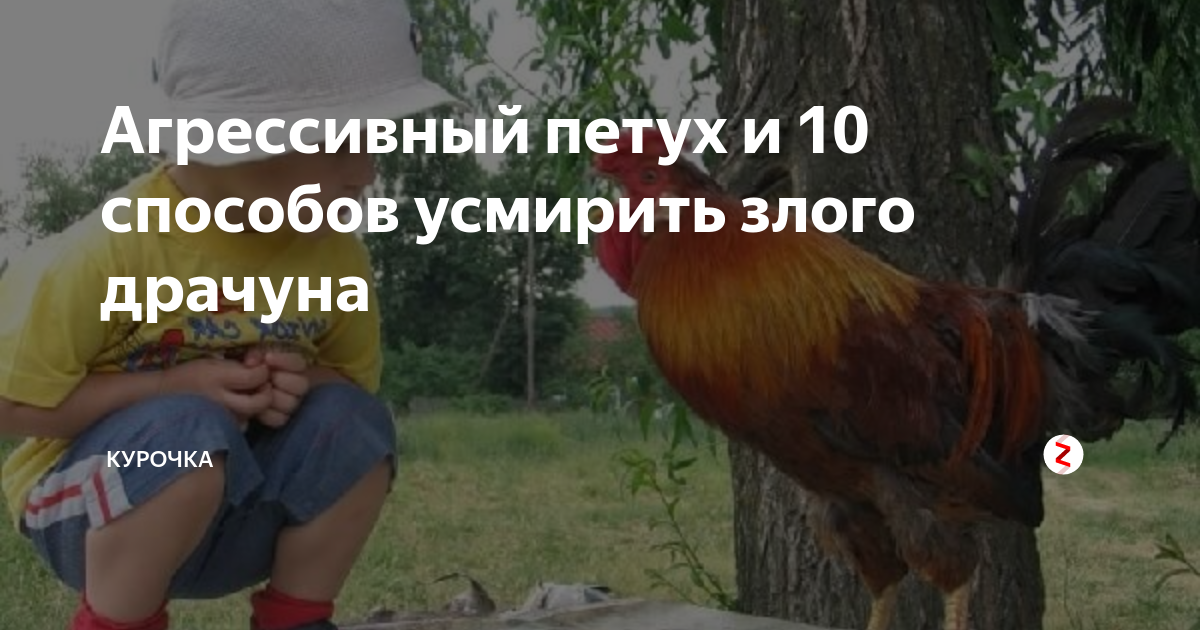 Как отучить курицу от насиживания яиц