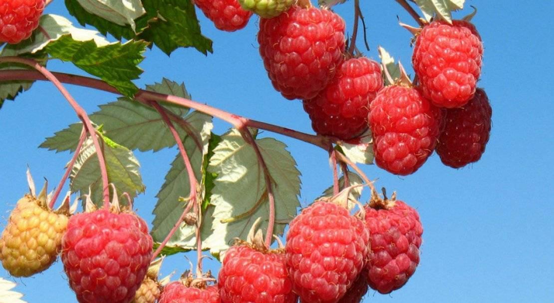 Малина крепыш: характеристика, особенности выращивания