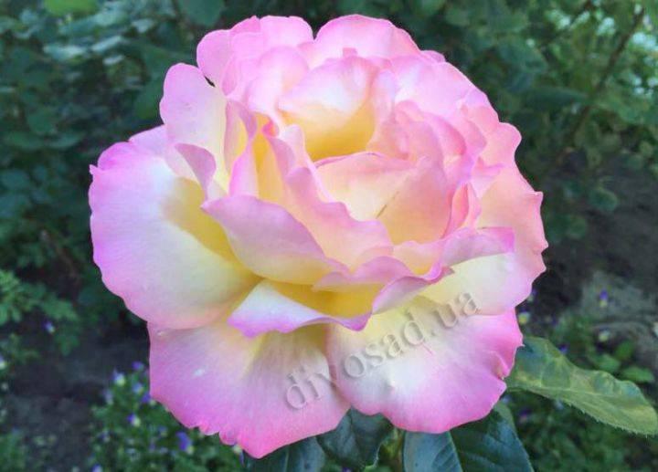 Роза глория дей - все тонкости посадки и ухода