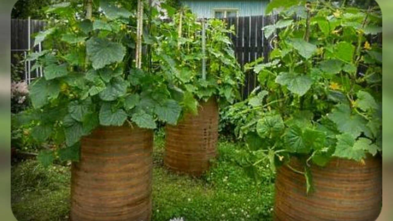 Огурцы в теплице: от рассады до сбора урожая. как правильно? рассада огурцов в теплице: посев, посадка, полив, удобрение