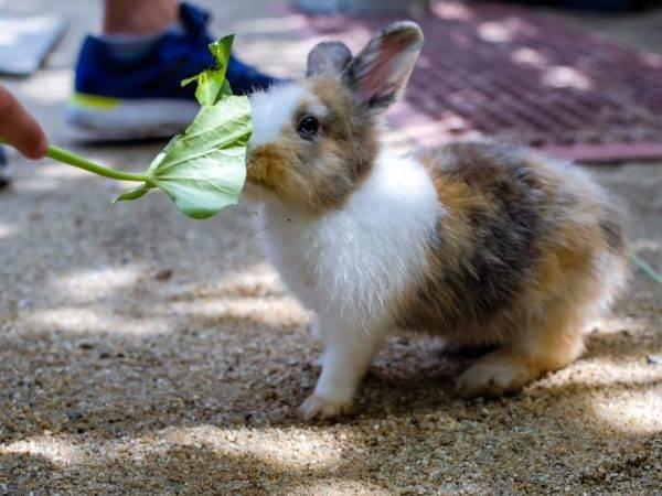 Правильное кормление кроликов комбикормом: суточная норма, особенности рациона и видеоинструкция - общая информация - 2020