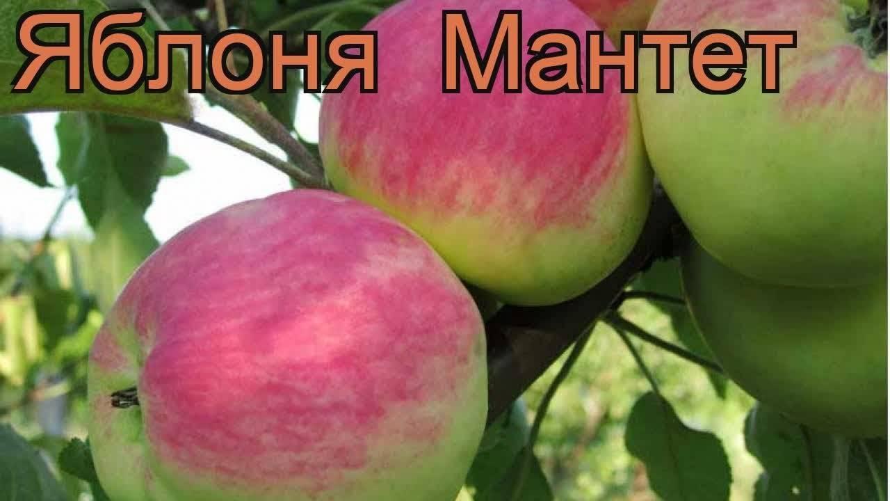 Яблоня мельба: особенности сорта и ухода