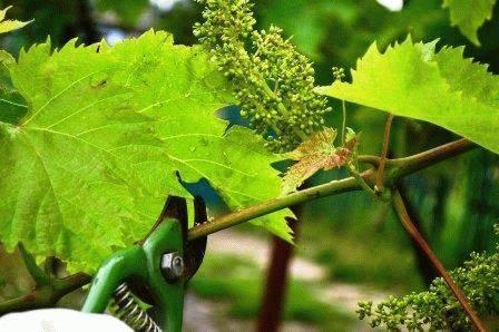 Обрезка винограда летом и осенью в картинках, видео и схеме. пошаговая инструкция для начинающих