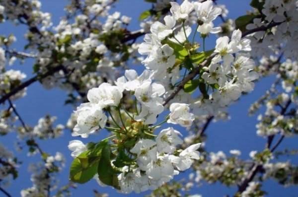 Сколько раз в жизни плодоносит вишня
