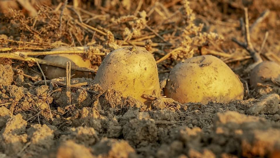 Можно ли сеять семена огурцов после картошки