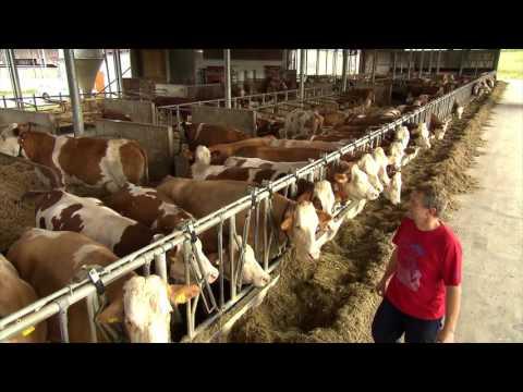 Какими методами определить стельность коровы в домашних условиях